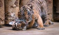 Mláďata tygra malajského - nahoře sameček.