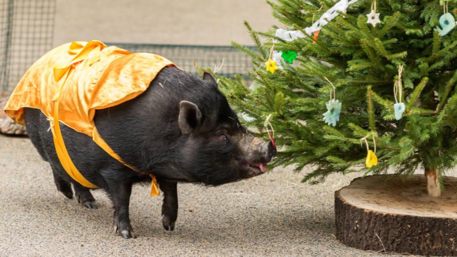 """Na Štědrý den uvidí návštěvníci v 12:00 v Amfiteátru Rezervace Bororo """"zlaté"""" prasátko."""