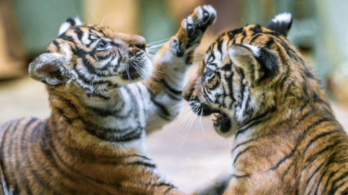 Hry malajských tygřat ze Zoo Praha začínají nabývat na razanci.