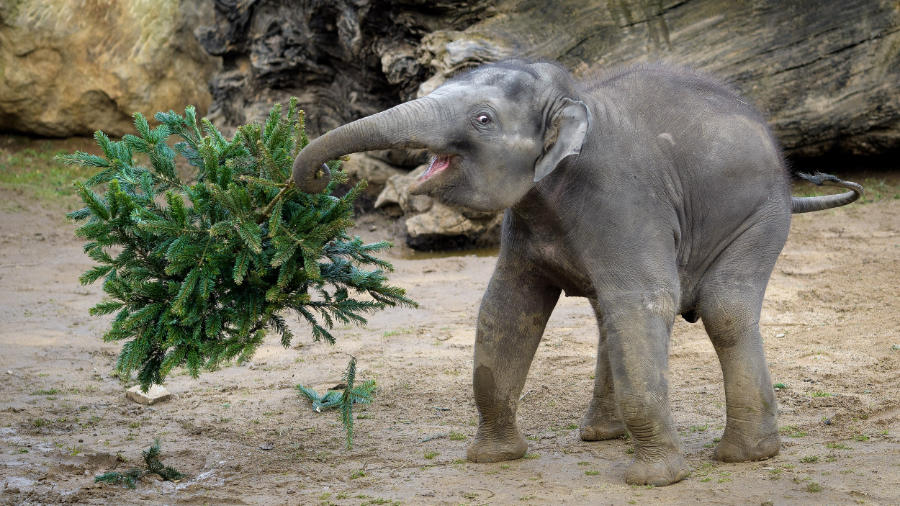 Největší radost ze smrkových větví měl sameček slona indického Max.