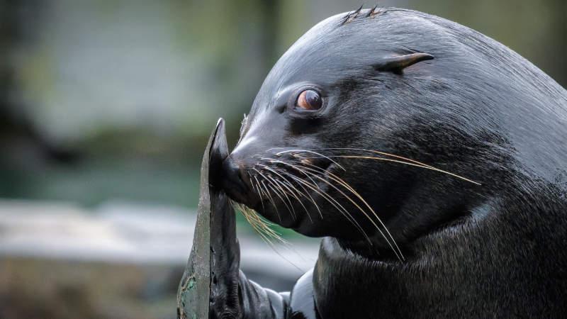 Lachtan Meloun zahájí olympiádu v Zoo Praha speciálním vystoupením.