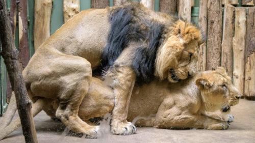 Od 18. února chovatelé zaznamenali u lvů indických Sohana a Suchi několik dnů páření.