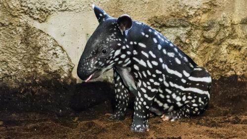 Tapír Budak Puntja se v Zoo Praha narodil 15. října 2015 a okamžitě se stal hvězdným mládětem.
