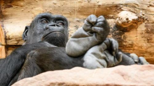 V neděli 18. března oslaví v Zoo Praha své 25. narozeniny osvědčená gorilí matka Kijivu.