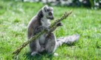 Lemur kata s pomlázkou.