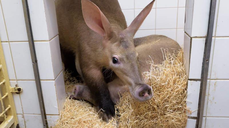 Samice hrabáče kapského Nyota odjela ze Zoo Praha do nového domova v Zoo Olomouc.