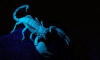 """Veleštír Petersův je dlouhý až 15 cm a stejně jako jiní štíři v ultrafialovém světle """"svítí""""."""