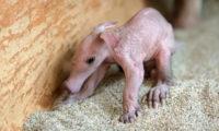 V Zoo Praha se narodilo dlouho očekávané mládě hrabáče kapského.