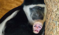 Návštěvníci se na mládě mohou přijít podívat do dolní části zoo, kde guerézy obývají jeden z Opičích ostrovů.
