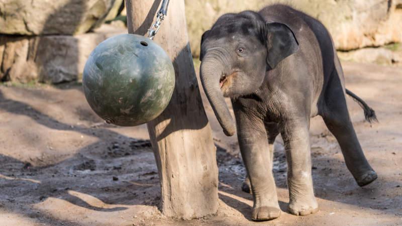 Slon indický Max je vůbec první slůnětem, které v pražské zoo nejen přišlo na svět, ale také zde bylo počato.