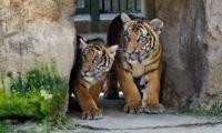 Mláďata tygrů malajských poprvé vyhlížejí, jak to vypadá venku.