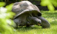 Největším benefitem výběhu je pro želvy možnost pastvy na zavlažovaném trávníku.