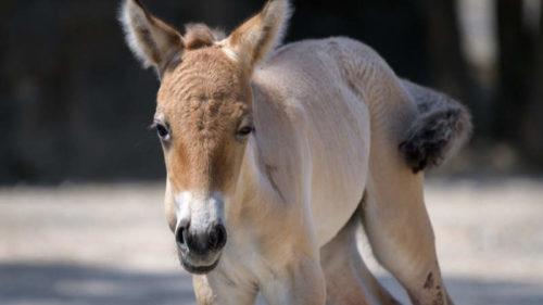 Mládě koně Převalského zůstane v pražském stádě minimálně půl roku.