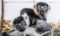 V zázemí Zoo Praha probíhá výjimečný odchov vari bělopásých a zatím to vypadá slibně.