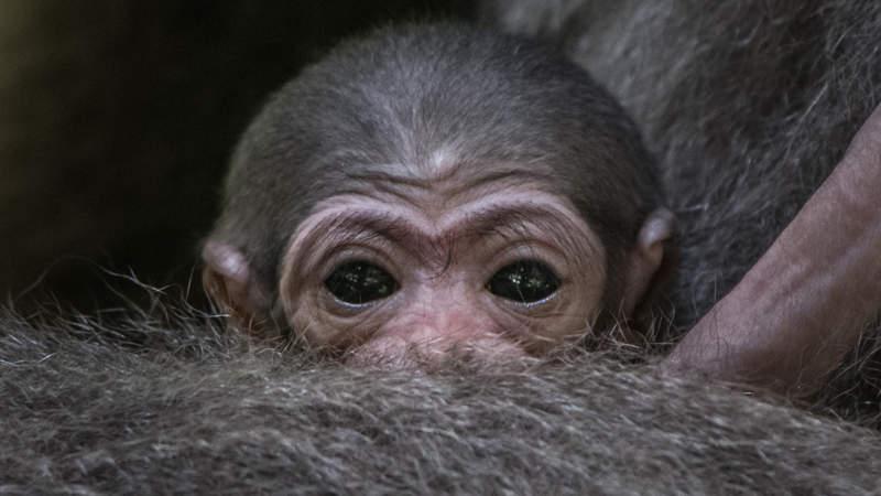 Mládě gibona stříbrného si mohou návštěvníci prohlédnout v dolní části zoo, na jednom z tzv. opičích ostrovů.