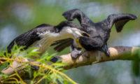 Mláďata kormoránů jsou ve venkovní voliéře Ptačích mokřadů krmena rodiči.