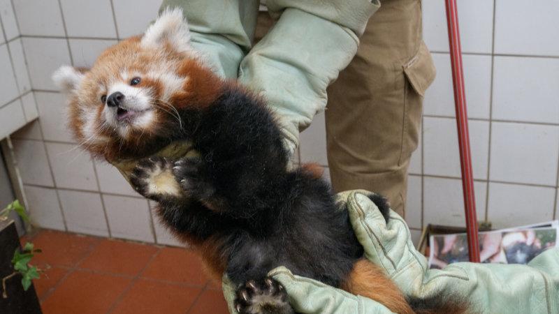 Veterinární prohlídka mláděte pandy červené.