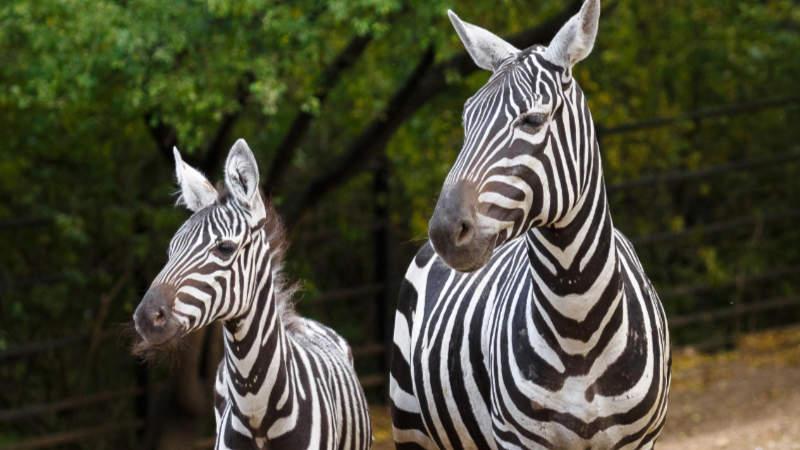 Kevin a Klea jsou novými obyvateli pražské zoo.