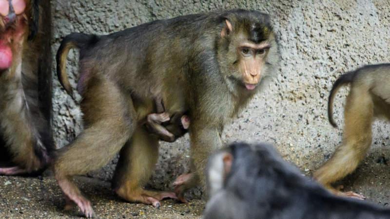 V Zoo Praha se narodilo další mládě makaka vepřího. Celou skupinu těchto primátů, mohou návštěvníci pozorovat v pavilonu Indonéská džungle.