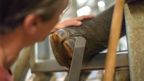 K úpravě chodidel slonů používají chovatelé speciální kopytní sadu.