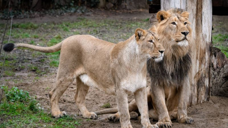 Čistokrevní lvi indičtí samec Jamvan a samice Ginni ve výběhu pražské zoo.