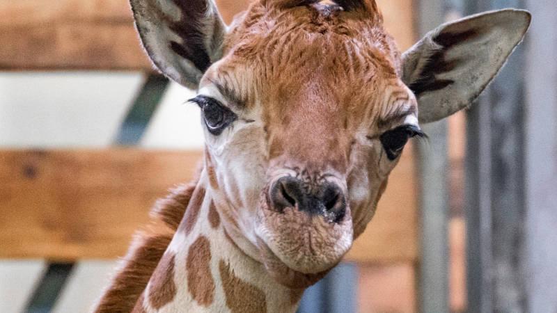 Mládě žirafy severní v den narození. Následná veterinární prohlídka potvrdila, že jde o samičku.