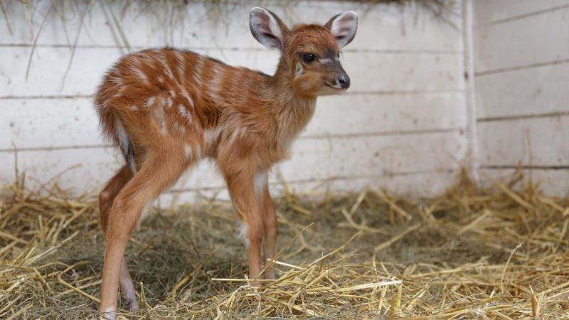 Jedním z prvních letošních přírůstků v Zoo Praha je toto mládě sitatungy západoafrické, jedné z nejbarevnějších antilop.