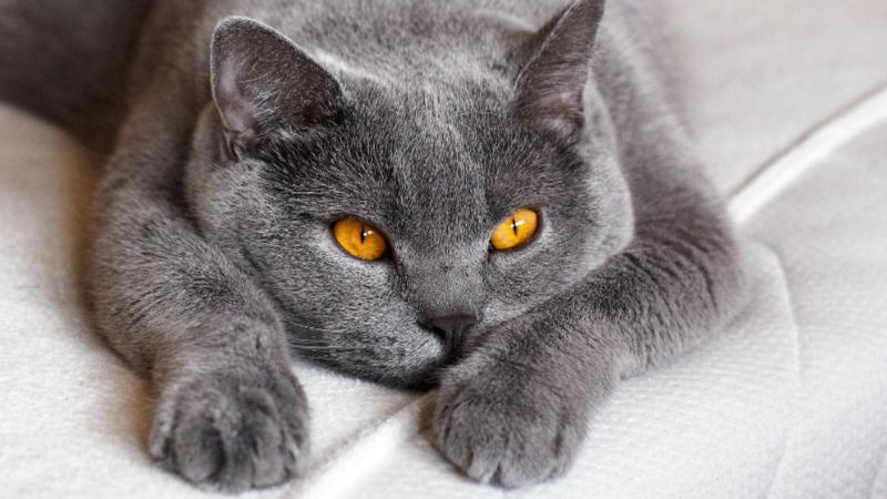 Britské krátkosrsté kočky jsou jedním z nejpočetnějších plemen u nás.