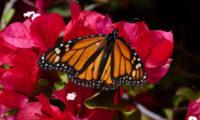 Monarcha stěhovavý (Danaus plexippus).