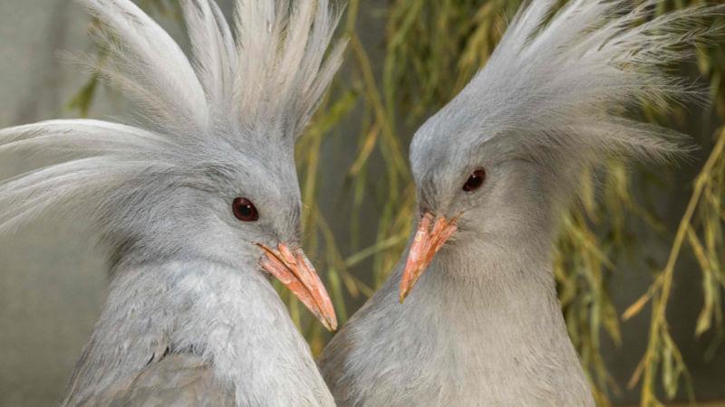 Zoo Praha začíná chovat zcela nový ptačí druh – kagu chocholatého. Dva samce se podařilo získat z německého Weltvogelparku Walsrode.