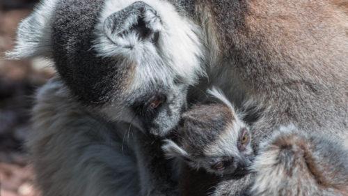 Tento snímek mláděte lemura kata vznikl krátce po porodu. Matka mládě řádně očistila a začala kojit.