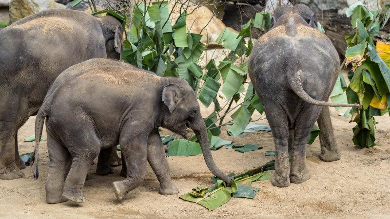 """Sameček slona indického Maxmilián se v pražské zoo narodil 5. dubna 2016. Sobotní oslavu svých třetích narozenin si opravdu užil. Na úvod se proběhl """"lesem"""", který chovatelé slonům připravili z listů banánovníku."""