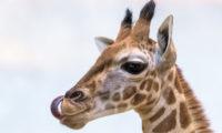 Žirafí sameček dostal jméno Matyáš.