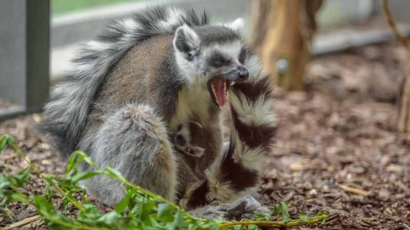 Sedmiletá samice lemura kata Móni s mládětem několik hodin po porodu.