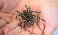 Zoo Praha v neděli, jako první na světě, otevřela expozici slíďáka tatarského, největšího druhu pavouka v Evropě. Konkrétně jde o mimořádně velkou samici.