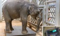 Během posledního vážení ve středu ráno dosáhl mladší Rudi přesně 1028 kilogramů.