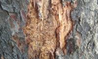 Stromy v Riegrových sadech napadl kůrovec.