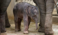 Nově narozené mládě slona indického.