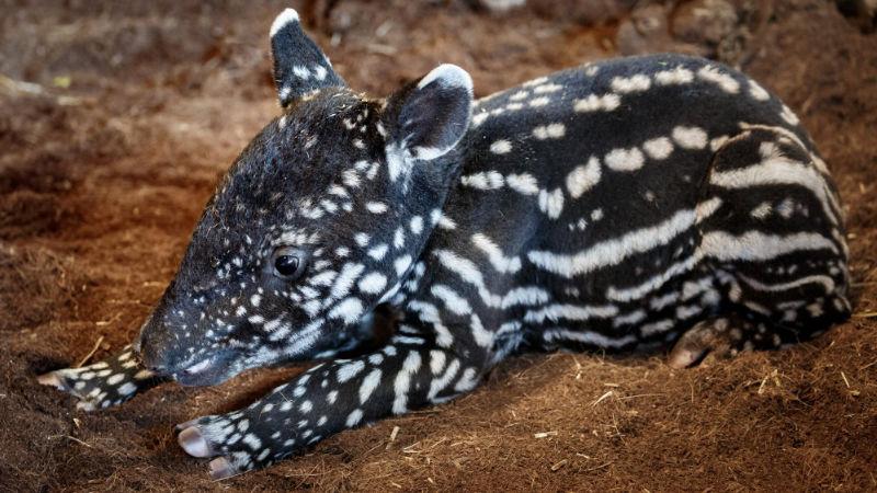 Zdánlivě nápadné zbarvení slouží mláďatům tapíra čabrakového v podrostu jako maskování. Tento sameček se v Zoo Praha narodil v neděli 19. dubna.