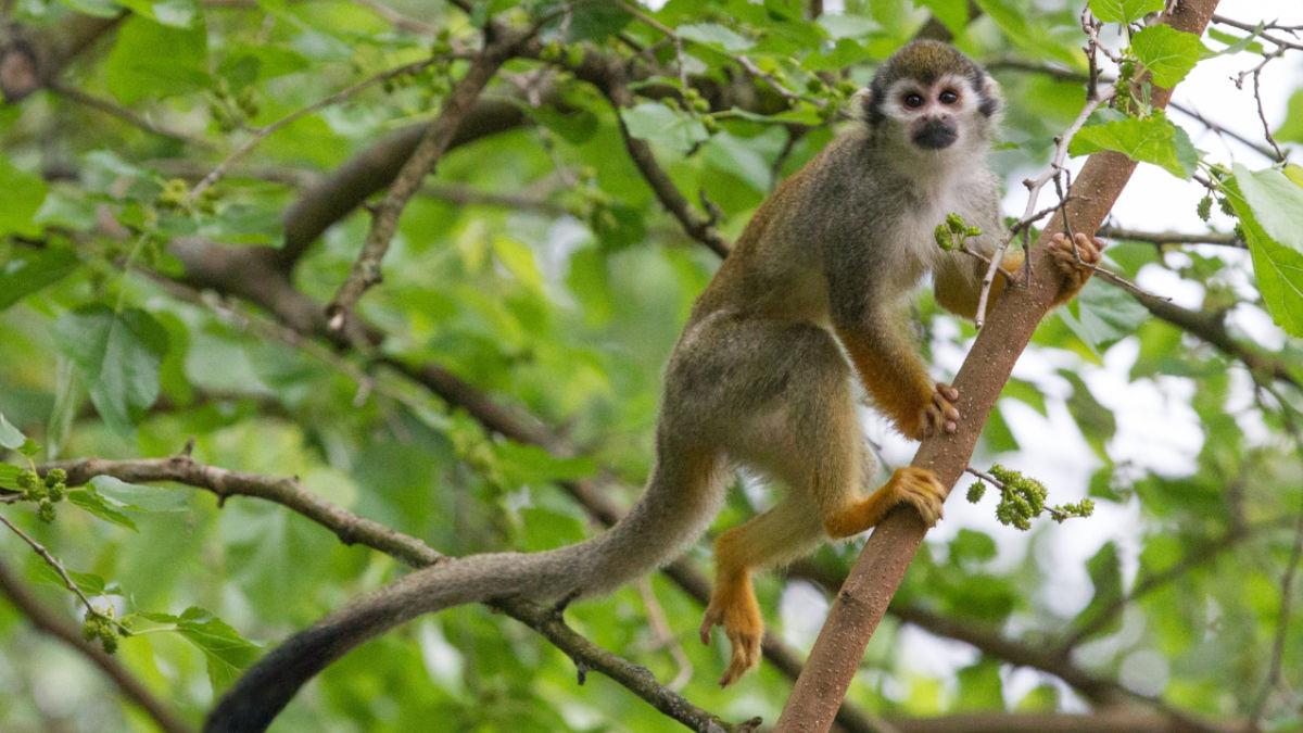 Kotul veverovitý je čilá opička, která v poměrně početných skupinách tráví většinu dne hledáním potravy vysoko v korunách stromů. V Zoo Praha má chovná skupina k dispozici krásnou vzrostlou moruši.