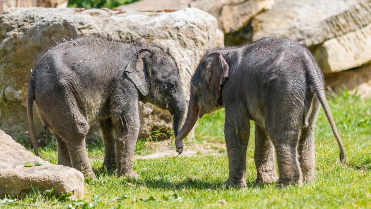 Samičky slona indického, které se v Zoo Praha narodily krátce po sobě na konci března a na začátku května, si pravidelně užívají venkovního výběhu.